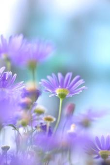 自然 植物 花 春の花 夏の花 春 初夏 夏 新緑 若葉 新芽 背景 テクスチャー マーガレット 森 林 公園 ガーデン 花畑 花壇 庭 光を浴びて 光透過光 季節感 暑中見舞い ポストカード 待ち受け画像 コピースペース バックスペース 爽やかイメージ 四月・五月の花 みずみずしい花 清々しい花