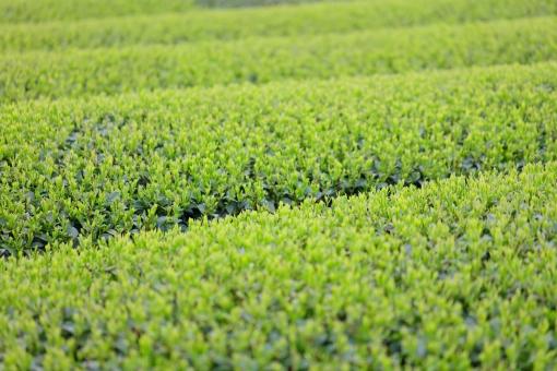 光景 お茶 茶畑 5月 茶摘み 早乙女 緑 新緑 初夏 余白 横位置 植物 日本茶 喫茶 香り 鹿児島 溝辺 初夏 和食 日本食 カテキン 緑茶 農業 加工 煎茶 抹茶