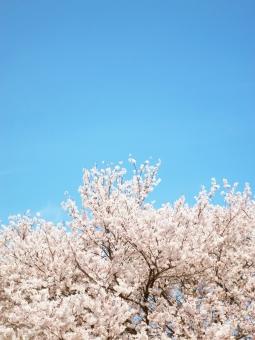 ソメイヨシノ サクラ 桜 さくら 花 春 入学式 空 青空 ピンク ブルー