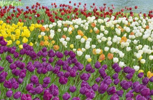 チューリップ 花 花びら 植物 カラフル 花壇 庭園 ガーデニング 赤 黄色 グリーン 背景素材 春 寄せ植え 背景 テクスチャ テクスチャー