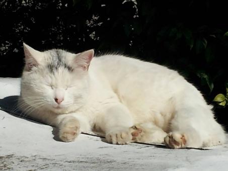 白ネコ まぶしい まぶしそう 眩しい ねこ 白猫 ネコ 白ねこ 昼寝 白 ほわほわ ふわふわ まったり のんびり 目をつぶる かわいい 可愛い 癒し 癒される いやされる おひるね 午後 昼下がり ぽかぽか お日様 暖か あたたか 小春日和