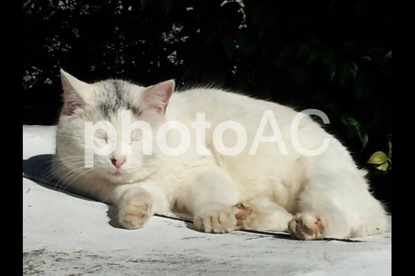 まぶしい白ネコの写真