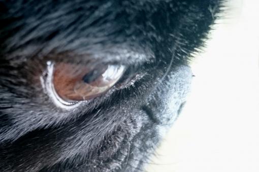 犬 いぬ イヌ 光 表情 瞳 目 見る 見つめる 視線 興味 釘付け 集中 まなざし 眼差し ペット 飼い犬 穏やか 黒い犬 小型犬 室内犬 パグ ブサかわ ブサカワ犬 動物 アップ イメージ pug dog 白背景 真剣 フィラリア予防 狂犬病注射