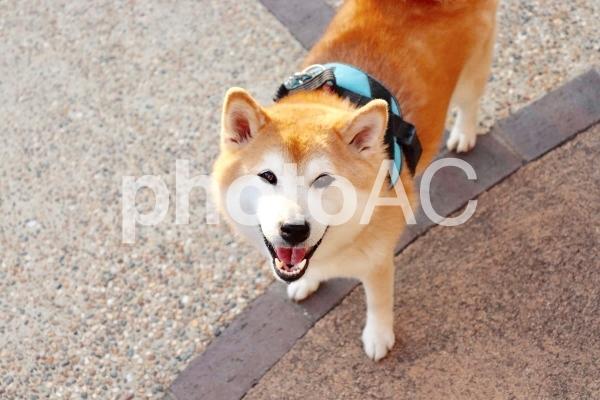 柴犬 極上のスマイルの写真