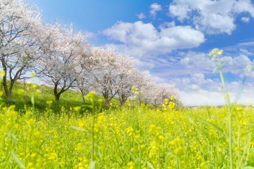 青空と桜と菜の花の写真