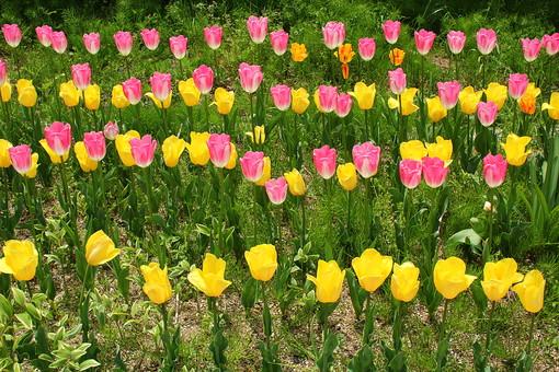 自然 風景 スナップ 旅行 植物 花 あざやか 原色 人気 チューリップ オランダ ポピュラー 花びら 花弁 茎 栽培 ガーデニング 庭園 植物園 温室 見頃 満開 旬 季節 ピンク 黄色 きれい