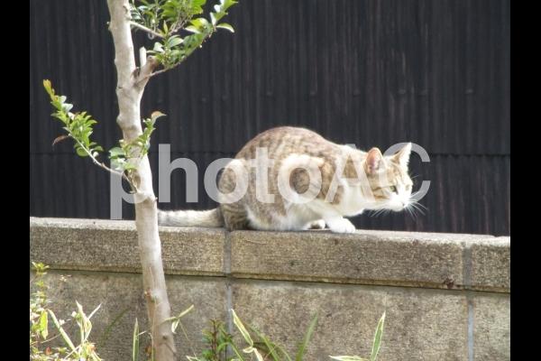 塀の上の猫の写真