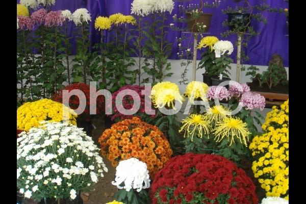 菊花展の写真