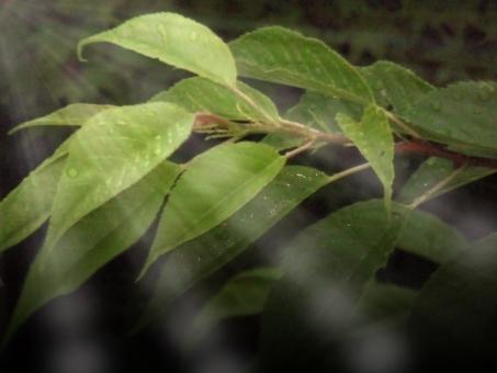日光 若葉 朝露 玉 垂れる 透ける 枯れる 光 ぼやける ピンボケ アート 室外 濡れる 濡れた 雫 しずく 水滴 水分 露 雨天 葉 葉っぱ 緑 茎 水玉 水 透明 映る 反射 自然 植物 雨 雨粒 木 樹木 成長 育つ 伸びる 新緑 みずみずしい 若々しい 綺麗 アップ 風景 景色 無人 クローズアップ 悪天候 屋外 野外 ウェット 自然背景 レイン 丸い 粒 草 葉脈 落ちる 一粒 一滴