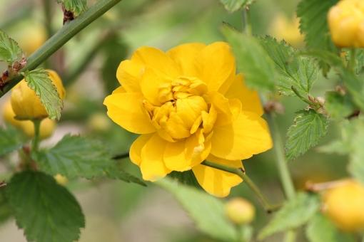 やまぶき ヤマブキ 山吹 黄色 春 花 山吹色 やまぶきいろ ヤマブキ色