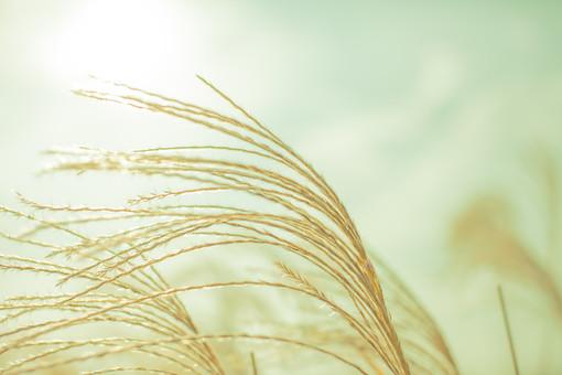 自然 植物 ススキ すすき 秋 アップ 空 雲 陽射し 光 太陽 太陽光 白い 曇り 天気 ぼやける ピンボケ 枯れる 茶色 加工 無人 室外 屋外 風景 景色 成長 育つ 多い 密集 集まる 沢山 靡く 風 幻想的