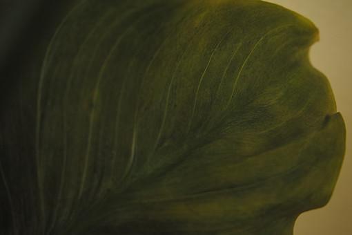葉 葉っぱ 緑 みどり 深緑 植物 成長 葉脈 育つ 観察 研究 アップ 一面 いっぱい 大きい 自然 エコ 環境 癒し 趣味 育てる 形 形状 波 表面