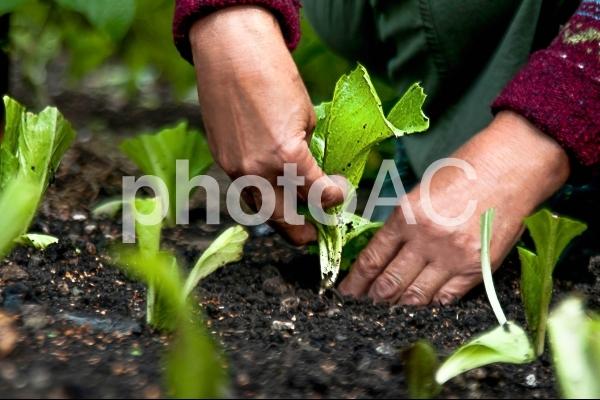 野菜の苗を植える3の写真