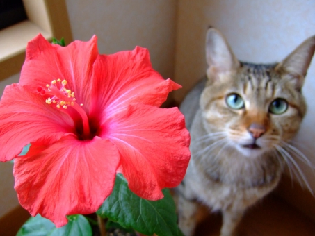 ハイビスカス 猫 ネコ 花 開花 花びら 赤い 夏 見上げる 視線 顔 表情 風景 植物 動物 鮮やか 咲く 見つめる 家猫 飼い猫 室内猫 ペット 動物 栽培 鉢植え ちゃこ