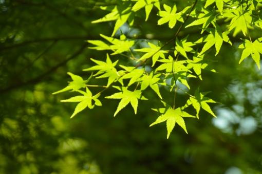 もみじ モミジ 青モミジ 青もみじ 光 透過 爽やか 初夏 空 清々しい 植物 枝 樹 影 陰影 明るい 若葉