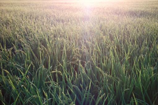 稲 稲田 田んぼ 田畑 朝 早朝 稲穂 植物 農業 農地 農作物 農耕地 夏 季節感 seasonimage シーズンイメージ 風景 景色 自然 緑 朝日 旭 田舎の風景 田舎の景色