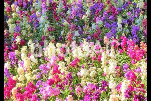 ストックの花壇の写真