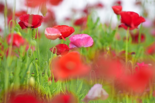 シャーレーポピー ポピー 花 花畑 植物 背景素材 テクスチャー テクスチャ 風景 カラフル 明るい 背景 ピンク 赤 白 緑 グリーン 春 初夏