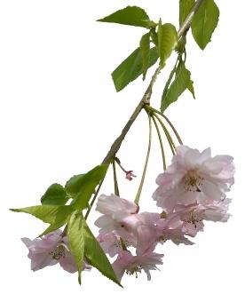 桜の切り抜き画像の写真