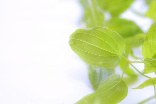 葉っぱ 葉 ふんわり ふわっと ふわり 光 文字入れ 文字スペース ホワイトスペース メッセージスペース 背景 利休草 ビャクブ グリーン 緑 植物 ブーケ