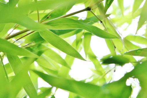 笹の葉 笹 葉 葉っぱ グリーン 植物 緑 緑色 爽やか 癒し スナップ 背景 自然 重なり