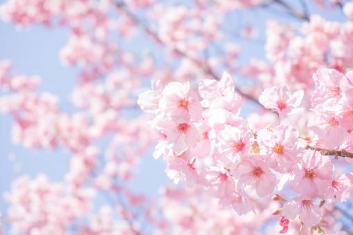 青空と満開の陽光桜2の写真