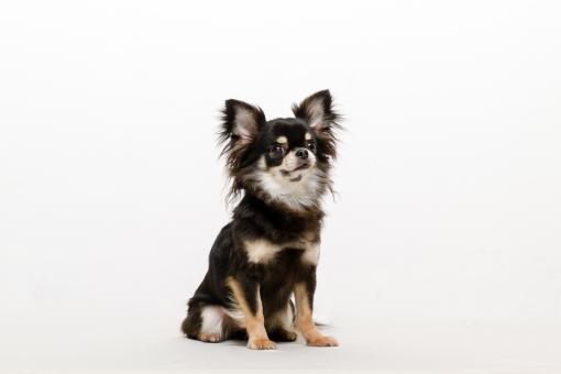 成犬」に関する写真|写真素材な...