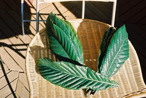 びわ ビワ 枇杷 葉 緑 自然 薬効 陽だまり 晴天 風景 景色 植物 枇杷の葉 びわの葉 ビワの葉