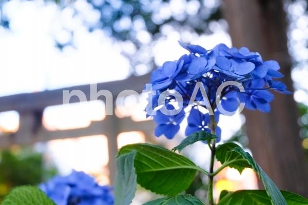 神社に咲く紫陽花の写真