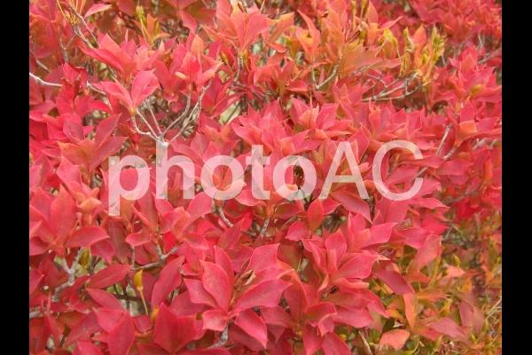 紅葉のアップの写真