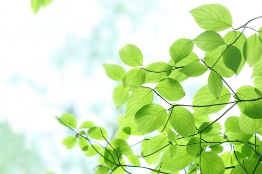 自然 植物 樹木 木 葉っぱ 木の葉 新緑 緑 グリーン 初夏 夏 爽やか クリーンイメージ 木漏れ日 光 透過光 森 待ち受け画面 ポストカード コピースペース マイナスイオン 清潔感 澄んだ空気 若葉 眩しい 背景 バックグランド テクスチャー
