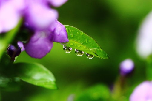 しずく 滴 雨 水 水玉 水滴 丸い 円形 落ちる 垂れる 並ぶ 三つ 3つ 三個 3個 粒 つぶつぶ 粒々 雨のしずく 雫 雨上がり 葉っぱ 葉 リーフ leaf 緑 緑色 green グリーン 植物 自然 風景 景色 壁紙 背景 テクスチャ キレイ 綺麗 きれい 素敵 ステキ きらきら キラキラ 煌めき 水晶 ビーズ クリスタル crystal beads 宝石 ニオイバンマツリ 花 紫 紫色 パープル purple 花びら 美しい