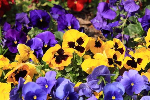花 花びら 自然 背景 かわいい 美しい 春 日本 満開 きれい 上品 シンプル 可憐 生花 アップ 植物 パンジー スミレ すみれ 庭 ガーデニング 紫 黄色 花壇 花畑