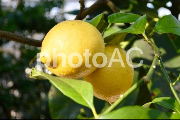 やせいのレモンの写真