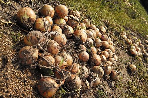 食べ物 野菜 食材 たまねぎ 玉ねぎ タマネギ 玉葱 農地 農家 農業 栽培 土 土壌 畑 葉 収穫 産地 健康 風景 菜園 根 自然 植物 栄養 材料