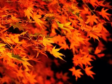 紅葉. 秋 紅葉 素材