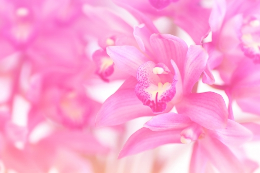 蘭 ラン らん 洋ラン 洋蘭 花 お花 ピンク 高級 高級感 ふんわり フェミニン 女性的 素材 写真 フリー 植物 きれい 綺麗 キレイ 美しい 美 美容 春 背景 背景素材 背景写真 バック バックグラウンド アップ 明るい ハイキー 柔らか 柔らかい 優しい 繊細 グラデーション グラデ