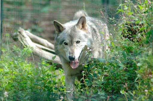 狼 オオカミ シンリンオオカミ イヌ科 肉食動物 肉食獣 哺乳類 生き物 動物 動物園 絶滅 絶滅危惧種 レッドリスト 遠吠え