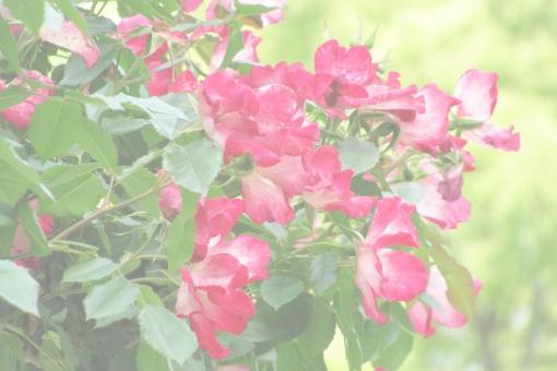 濃いピンクのバラ2の写真