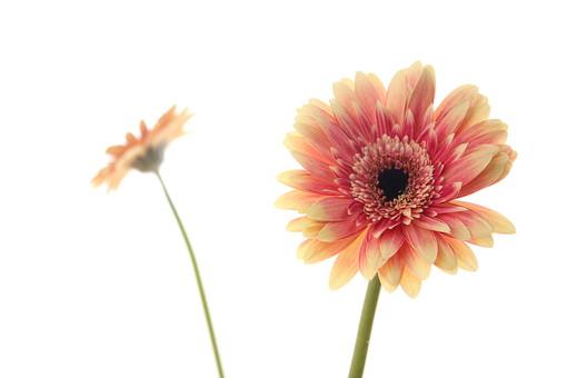 お花     ガーベラ 黄色     花      植物     花びら     無人     フラワー 逆光 白バック コピースペース 二本