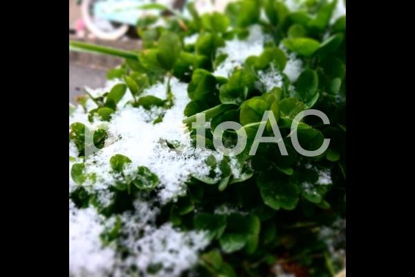 クローバーと雪の写真