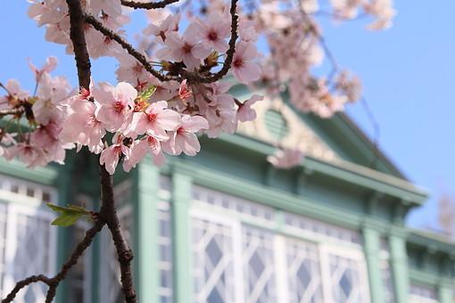 桜 さくら サクラ 春 満開 開花 花びら ピンク 桃色 ピンクの花 桃色の花 アップ おしべ めしべ 枝 植物 樹 樹木 木 屋外 綺麗 咲く 暖かい かわいい 明るい 建物 洋館 緑 外観