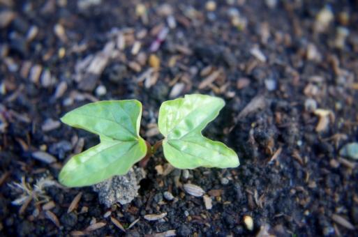 朝顔 アサガオ あさがお ヒルガオ科 花 植物 双葉 子葉 葉 緑 芽ばえ 芽生え 成長 夏 観察 自然