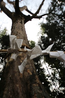 大木 木 古い 歴史 神木 おみくじ 参拝 結ぶ 祈願 枝 枯れ 枯れる 枯れた 植物 貴重 緑 自然 風景 見上げる 葉 葉っぱ 紙 年輪 根本 幹
