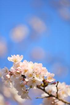 さくら サクラ 桜 サクラサク 合格 入学 入園 新学期 小学校 幼稚園 子ども 成長 4月 春 花 植物 空 青 電報 進路 新生活 社会人 一年生 縦位置