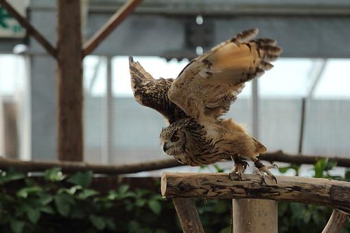 ふくろう フクロウ 梟 鴞 動物界 脊索動物門 鳥綱 フクロウ目 フクロウ科 フクロウ属 鳥 とり トリ 動物 生き物 毛 毛並み 顔 夜行性 動物園 野生 自然 肉食 飼育 ペット