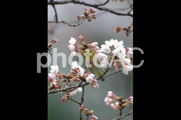 桜(ソメイヨシノ)の写真