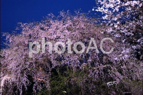 六義園の夜桜の写真