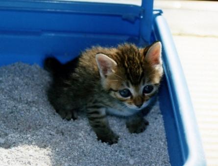 子猫 仔猫 猫 ネコ ねこ 愛猫 トイレ 猫砂 猫の手 顔 表情 座る 耳 ヒゲ 目を開けた 練習 訓練 成長 しっぽ 家ネコ 室内猫 飼い猫 ペット しつけ 躾 かわいい 可愛い 耳 ちゃこ 学習