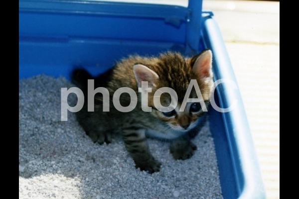 トイレトレーニングする子猫の写真